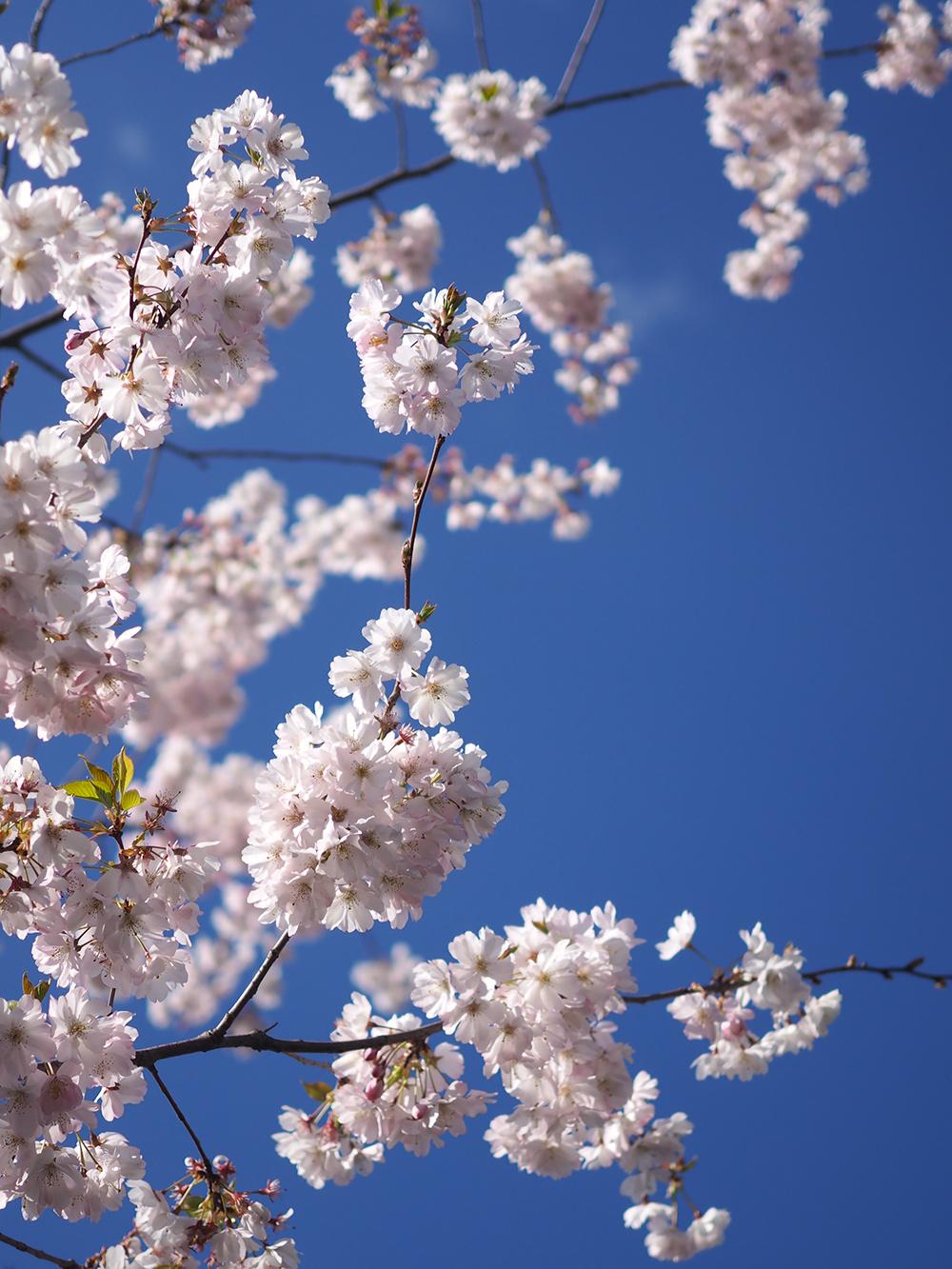 cerisier-fleurs-02
