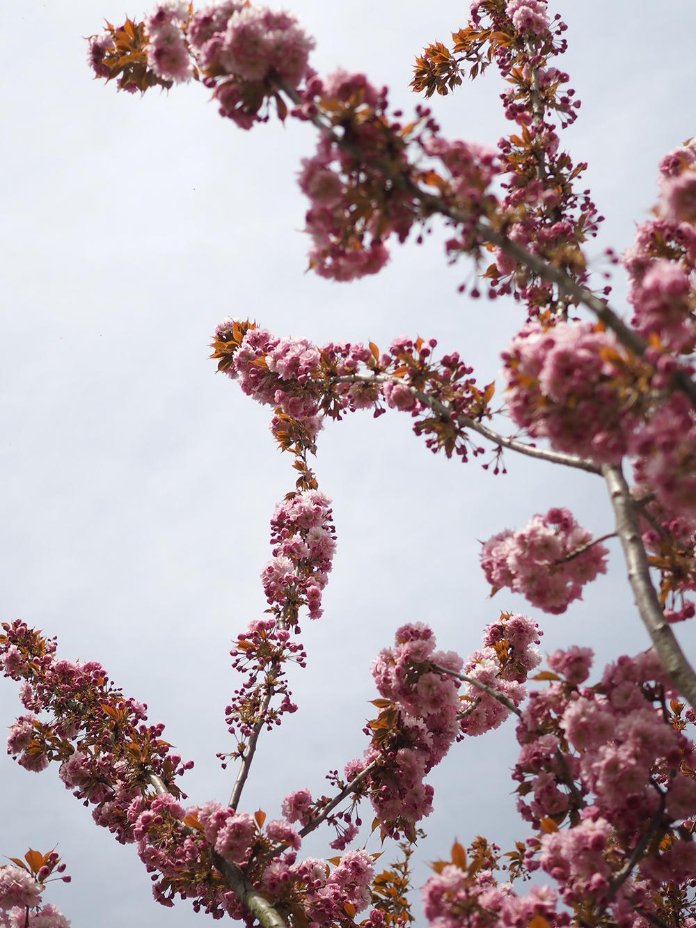 cerisier-fleurs-2