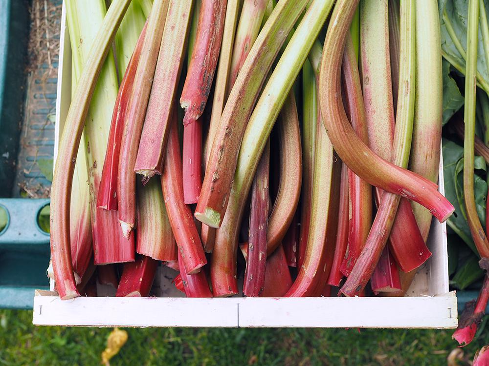 mamimone-rhubarbe-02