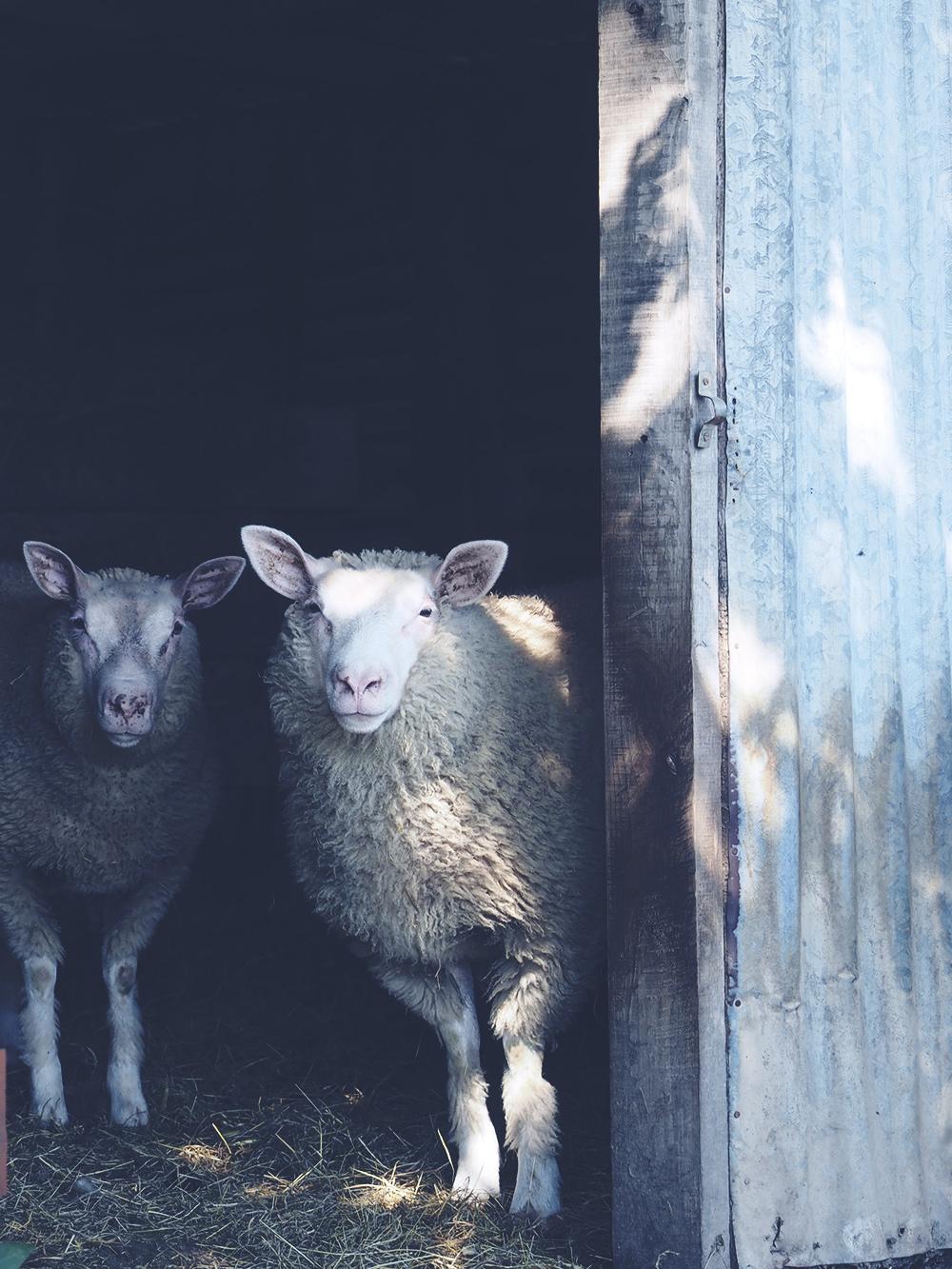 mouton-mamimone